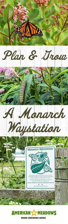 How To Create A Monarch Waystation   American Meadows Blog