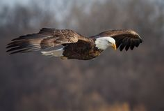 Intensity Personified by troymarcy - Majestic Eagles Photo Contest Bald Eagle Images, Most Beautiful Birds, Birds Of Prey, Animals Of The World, National Geographic Photos, Photo Contest, Birds In Flight, Pet Birds, Animal Kingdom