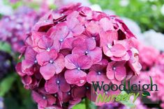 Hydrangea macrophylla Montgomery from Woodleigh Nursery 300 Mountain Road RD 3 New Plymouth 4373 Hydrangea Macrophylla, Dry Well, How To Look Pretty, Perennials, How To Find Out, Nursery, Flowers, Plants, Baby Room