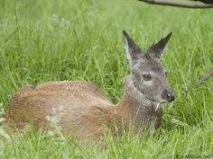 the vampire deer- yes real. Would be the coolest pet in the world. The world!
