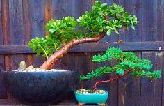 Jade and newly potted Juniper Bonsai. #jadesucculent #succulents #bonsailife ##orientalgarden #orientalstyle #bonsai #gifts #gardendecor #geelong #bellarinepeninsula #bellarinebonsai #livelovegeelong #surfcoastgardens #patience #victoria #oceangrovegardens #oceangrove #christianjcreations by christianjcreations http://ift.tt/1JO3Y6G