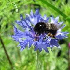 'Hummel auf Kornblume - Bumblebee on cornflower' von Linda Schilling bei artflakes.com als Poster oder Kunstdruck $16.63