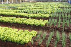 Águas de Pontal: Maringá tem 32 hortas comunitárias que produzem 25...