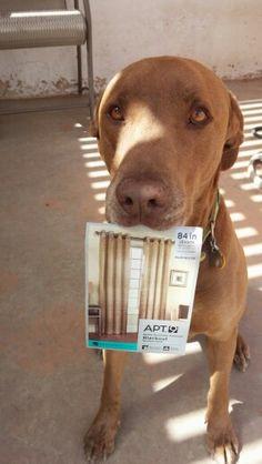 Canine/interior decorator/watch dog...