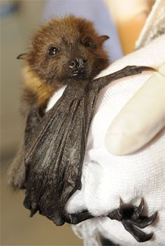 It's bat appreciation week!!!! They need our help. Educate yourself about these very useful and needed little mammals: http://www.batcon.org/index.php/all-about-bats.html