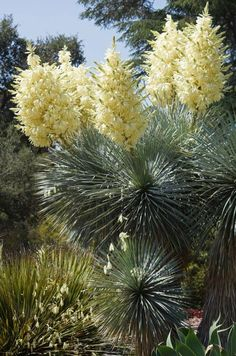 Yucca rostrata in bloom photo. From Piece of Eden