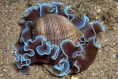 Blue Lined Sea Lettuce Paper-Bubble Shell specimen (Hydatina physis)- By James van den Broek Life Under The Sea, Under The Ocean, Sea And Ocean, Underwater Creatures, Underwater Life, Ocean Creatures, Foto Macro, Vida Animal, Beautiful Sea Creatures