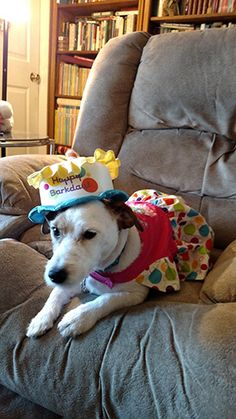 Say hello to Dogtology's Dog of the Month for May — Moxie! Fun facts about Moxie: > Moxie is a purebred Jack Russell terrier. > She doesn't mind dressing up, especially when she gets treats. > Moxie has never seen a puddle she didn't want to roll in, she loves her puddles. > Her favorite toys are Nylabones. She chews through all other toys. > Moxie just celebrated her 2nd birthday...and received lots of presents of course! > She's an awesome snuggler! Moxie will meet her daddy at the stairs…