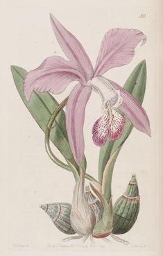 (1844) - Edwards's botanical register.