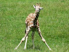 Longleat Safari Park. by Bmc1991., via Flickr  My own photography. Travel Style, Giraffe, Safari, Park, Photography, Animals, Felt Giraffe, Photograph, Animales