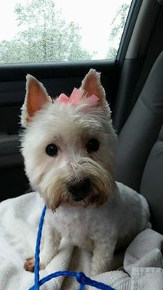 Adopted July2014! Stella is a 6 year old Westie that comes to us from a high kill shelter. Her time was up and her little matted self needed a place to go. Stella is very friendly, good with other dogs, and cute as a button. Watch for more info on her! www.fosterpetoutreach.org @FPOPets on twitter or on FB