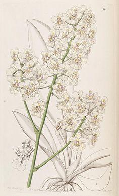 Edwards's botanical register.. London :James Ridgway,1829-1847.. biodiversitylibrary.org/page/241407