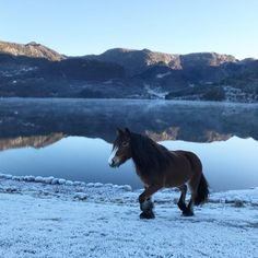 Vakre Rinja i vinterlandskap på Øvre-Eide Gård. Bergen, Eid, Horses, Animals, Animais, Animales, Animaux, Animal, Horse