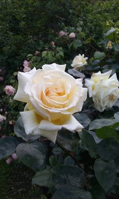'Jack Hume'   Climbing rose, HT.  Colleen O'Connell (New Zealand, circa 2002)