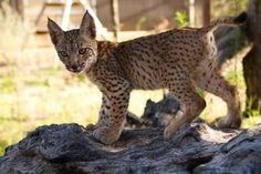 Iberian Lynx, Almost Ready, Big Cats, Cubs, Kangaroo, World, Gatos, Animals, Lonely