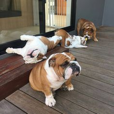 Cute Bulldog Puppies, Bulldog Pics, Cute Bulldogs, Dogs And Puppies, Funny Animal Photos, Cute Funny Animals, Cute Dogs, British Bulldog, Old English Bulldog
