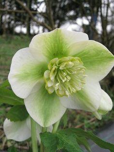 Helleborus x hybridus Yellow Green Anemone Special Flowers, Rare Flowers, Exotic Flowers, Green Flowers, White Flowers, Beautiful Flowers, Yellow Roses, Pink Roses, Shade Garden