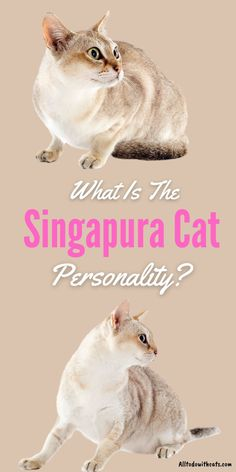 Find out everything you need to know about Singapura cats including personality. Plus, caring for your Singapura, where they originate from, and lots more. #catbreeds #singapuracat #smallcatbreeds #shorthaircatbreeds Short Hair Cat Breeds, Black Cat Breeds, Small Cat Breeds, Short Hair Cats, Introducing A New Cat, Singapura Cat, Living Treasures, Russian Blue, British Shorthair