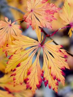 18 Japanese Maple Trees You Should Definitely Plant in Your Yard Dancing Peacock Japanese Maple 2 Bloodgood Japanese Maple, Dwarf Japanese Maple, Japanese Art, Bush Garden, Lawn And Garden, Green Garden, Landscape Curbing, Tree Plan, Leaf Coloring