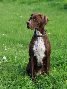 English Pointer On The Meadow Stock Image - Image of pedigreed, breed: 29672241 English Pointer Puppy, Pointer Puppies, Dogs And Puppies, Doggies, Wild Dogs, Hunting Dogs, Mans Best Friend, Friend 2, Training Your Dog