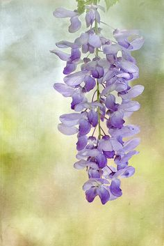 Textured Wisteria #purple #flower