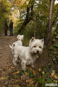 West Highland White Terriers, via Flickr.