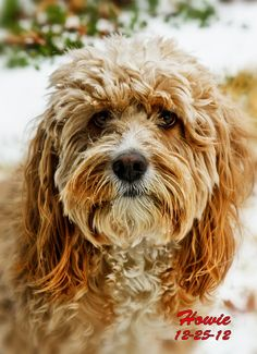 My Cockapoo Howie | Flickr - Photo Sharing!