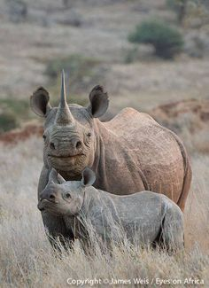 Rhinoceros Mother and Calf