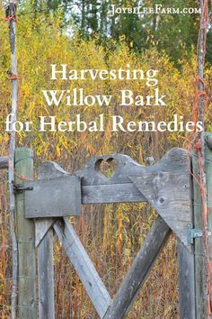How to harvest willow bark to make herbal remedies to replace aspirin-like OTCD