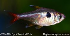 "Hyphessobrycon roseus ""Yellow Four Eye Phantom Tetra"""