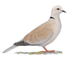 The mournful cooing of the Mourning Dove is one of our most familiar bird sounds. From southern Canada to central Mexico, this is one of our most common birds, often abundant in open country and along roadsides. European settlement of the continent, with its opening of the forest, probably helped this species to increase. It also helps itself, by breeding prolifically: in warm climates, Mourning Doves may raise up to six broods per year, more than any other native bird.