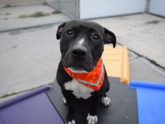 BREANNA - A1120863 - - Brooklyn  TO BE DESTROYED 09/21/17 **NEW HOPE RESCUE PARTNER ONLY**  A volunteer writes: Breanna is an exuberant pup…she can barely contain her excitement when I approach her kennel with my leash. Once out in the play yard, she zooms about gleefully, play bowing at everyone and everything she sees. She stops briefly for some kisses and cuddles, and is off again. Breanna is fun dog who would love an active family. If you fit that profile and want