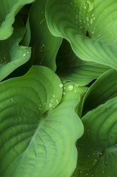 Hosta http://www.pinterest.com/ellyamell/shades-of-green-~/