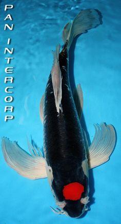 Longfin Tancho Goshiki Koi Art, Fish Art, Art Vampire, Vampire Knight, Tancho Koi, Koy Fish, Cosplay Steampunk, Butterfly Koi, Goldfish Pond