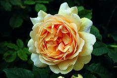 Rose Golden Celebration® (im grossen Container): Grosse Schalenblüten mit fruchtigem Teerosenduft - Strauchrose Golden Celebration®