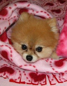 """PetMeds commercial star Bella posing in a fleece """"Bella blanket"""" which she and her mom make to benefit Southern California Pomeranian rescue.  Way to go, Bella!"""