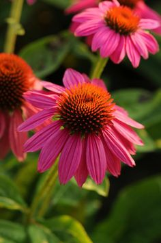 Echinacea purpurea, 'PowWow Wild Berry' Seeds £3.95 from Chiltern Seeds - Chiltern Seeds Secure Online Seed Catalogue and Shop