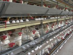 Commercial Chicken House commercial poultry house pictures | cage free commercial layer