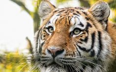 Daily Cute: Siberian Tiger Released Back into the Wild - fewer than 400 Siberia Tigers left in the world