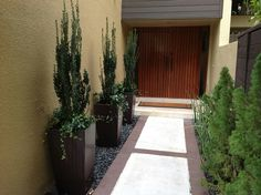 Ilex Crenata -Sky Pencil. Japanese Holly accent containers with jasmine mimima underplanting