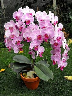 Tips on Propagating your orchid plants at Unusual Flowers, Amazing Flowers, Pink Flowers, Beautiful Flowers, Orchids Garden, Orchid Plants, Flowers Garden, Orquideas Cymbidium, Growing Orchids