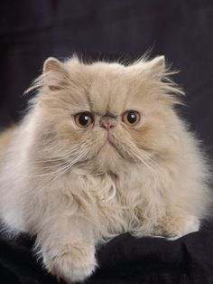Persian Cat Gallery - Cat's Nine Lives Teacup Persian Cats, Himalayan Persian Cats, Teacup Cats, Kittens Cutest, Cats And Kittens, Cute Cats, Pretty Cats, Beautiful Cats, Toxic Plants For Cats