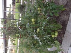 Our first attempt at tomatoes is going well.  There are two pepper plants and an eggplant in there as well {Spring 2012}