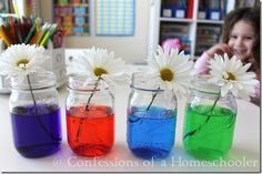 Science Experiment & Colored Flowers  experiment to show the kiddos how the stem of the flower pulls up water and nutrients to feed the flower.