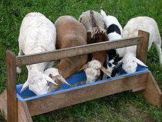 feed pellets for feeding sheep