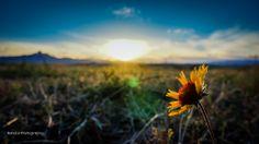 Sunflower w/ Sunset