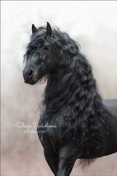 Friesian stallion