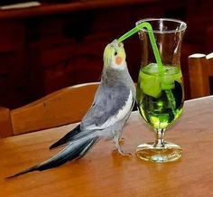 21 Funny animals pictures with funny cockatoo sucking from a straw. Funny animal pictures with captions. Funny Birds, Cute Birds, Pretty Birds, Beautiful Birds, Animals And Pets, Baby Animals, Funny Animals, Cute Animals, Bird Pictures