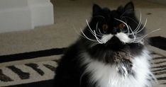 13 Cats Born With Perfect Mustaches