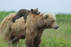 bear mom and cub hitching a ride